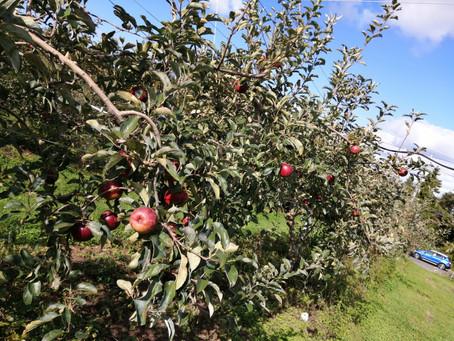 りんご狩り!アロマトリートメント好きなセラピストブログ