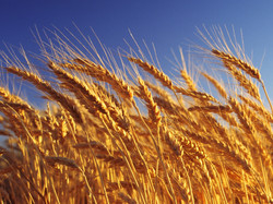 Agriculture-Report-Special-Grain-May-Reduce-Iron-Deficiency.jpg