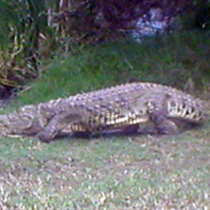 South African Crock/Gators