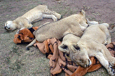 Lion Cubs at a Preserve in S Africa