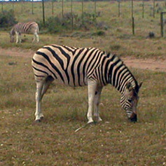 Black on White or White on Black Stripes