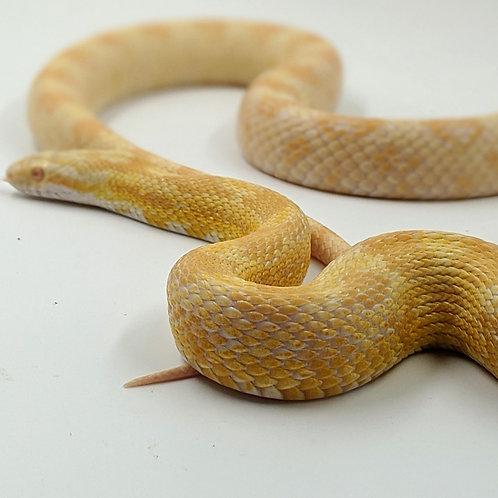 Corn Snake (Butter)