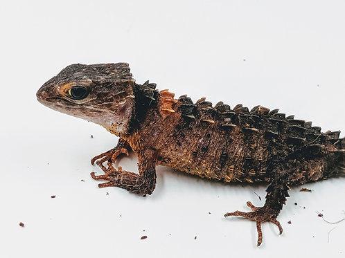 White Eyed Crocodile Skinks