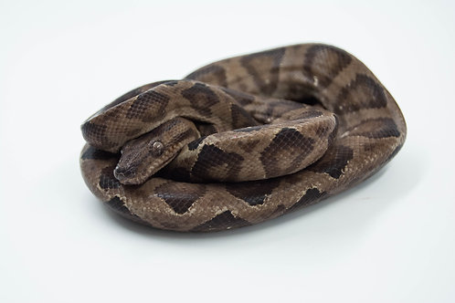 Annulated Tree Boa (Corallus annulatus)
