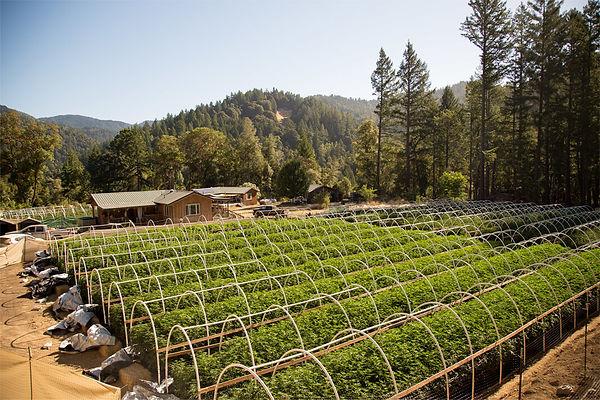hemp farming, emerald med cbd