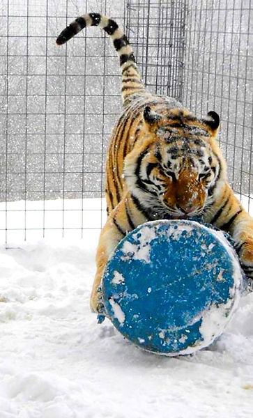 bengal tiger playing, big cats, 55 gallon drum, snow cat, snowing zoo