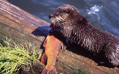 otter playing with trout, brown trout lake