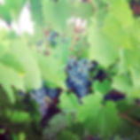 stonehill winery, grape vines