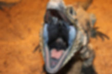 angry reptile, reptile mouth, branson zoos