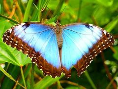blue fluorescent male butterfly