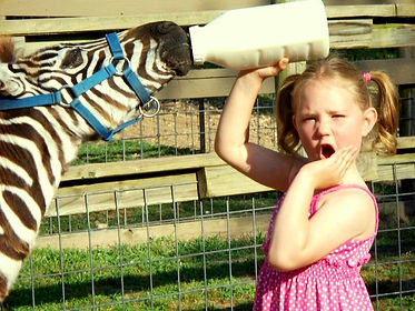 interactive zoos, feeding a baby zebra, shocked girl, bottle feeding animal