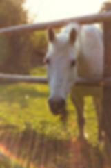 white horse eating grass, spotted arabian