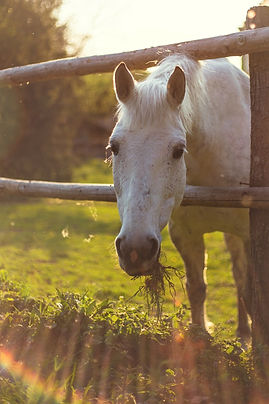 white horse eating grass, spotted arabian
