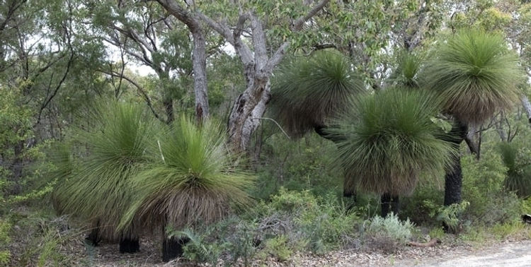 Grass trees in thier natural enviroment