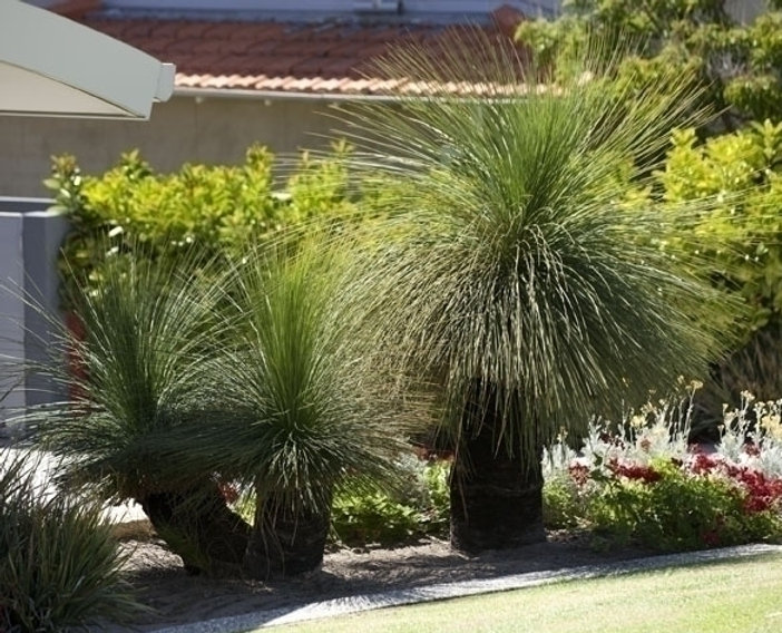 2 grass trees planted in a suburban garden in Bunbury