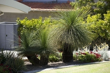Replanted Grasstrees in front yard