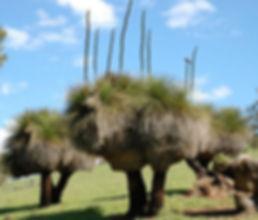 Natural grasstrees