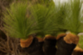 Newly planted grasstrees