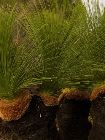 NEWLY RE-ESTABLISHED GRASSTREES