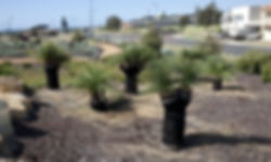 City of Bunbury using grass trees to landscape forshore