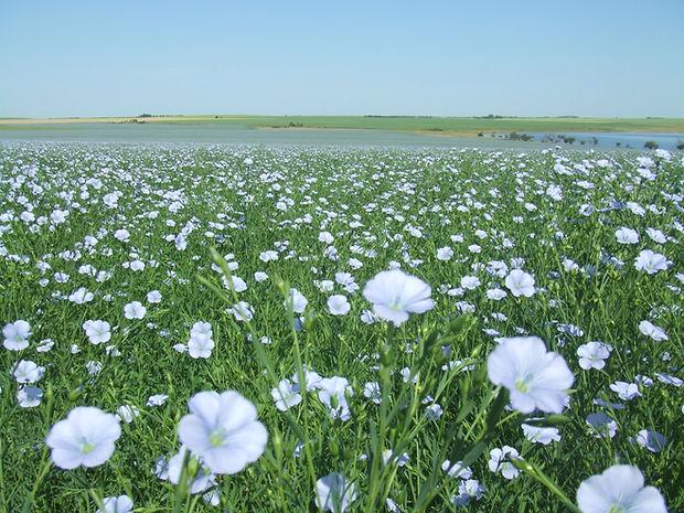 Field of Flax in Full Bloom