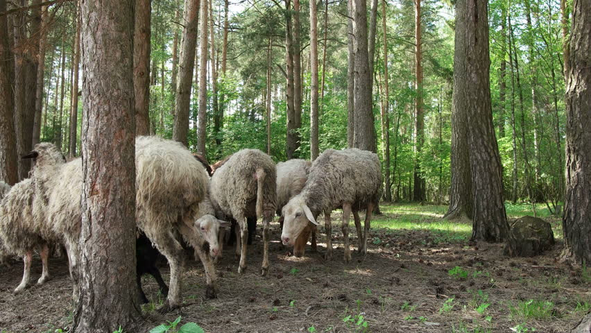 English sheep in woodlands