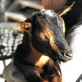 TGL Farms - WILLIE - Nigerian Dwarf Goat