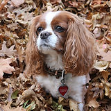 TGL Farms - BELLA -Cavalier King Charles