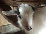 TGL Farms - LORETTA - Nigerian Dwarf Goat