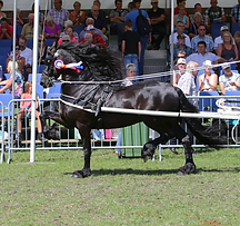 TGL Farms - CHRSTIAAN - Friesian Horse