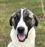 TGL Farms - OAKLEY - Anatolia Shepherd