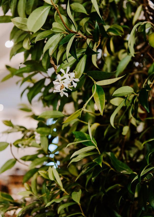Highly scented star jasmine flowers