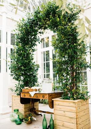 Real evergreen Star Jasmine
