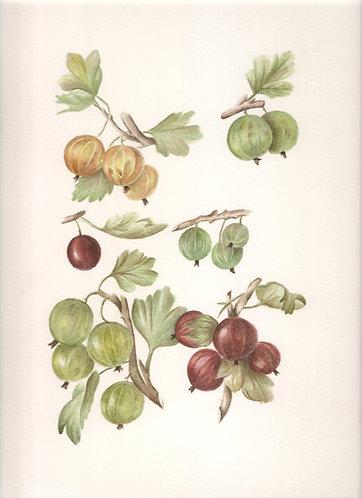 Grooseberry 3