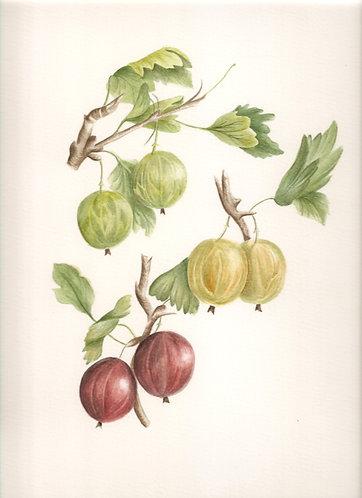Grooseberry 01