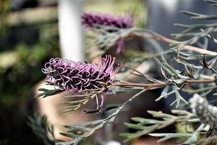 Lilac grevillea in park gardens