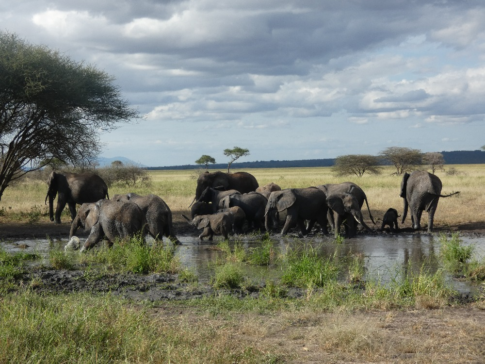 TanzaniaHerdElephants