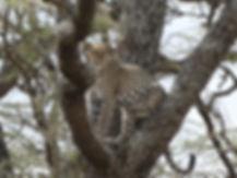 LeopardTanzania