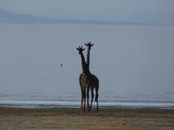 GiraffesTanzania