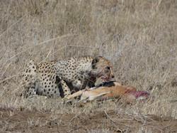CheetahEatingTanzania