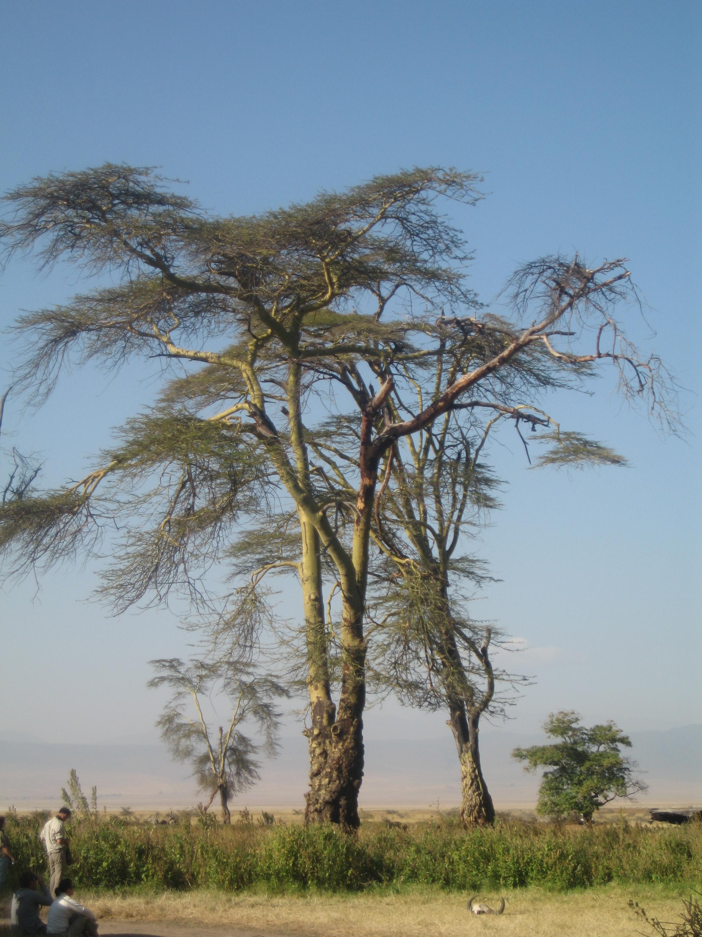 AcaciaTanzania
