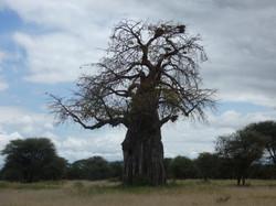 BaobabTanzania
