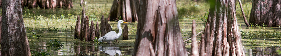 Photograph art work found in Cajun sceneries of a Great White Egret eating in the swamps and bayous of South Louisiana