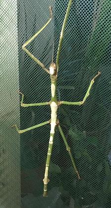 Tirachoidea siamensis X1 nymph