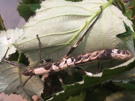 Dimorphodes sp. 'Galela' x 6 nymphs