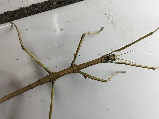 Medauroidea extradentata x 10 nymphs