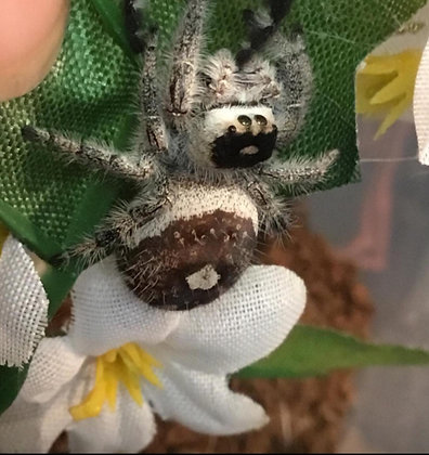 Phidippus regius  jumping spider , spiderlings X1