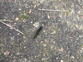 Athalia Rosae (Turnip Sawfly)