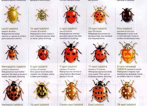 Coccinellidae (Ladybug).
