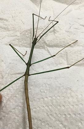 Lopaphus sp. 'Kobal Spien' x 6 Nymphs